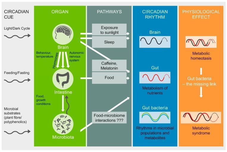 Circadian Rhythm and gut microbiota
